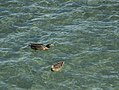 Taupo's lucid waters. Ducks. - panoramio.jpg