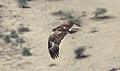 Tawny Eagle (Aquila rapax) (44731588380).jpg