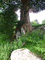 Tenacious sycamore - geograph.org.uk - 509999.jpg