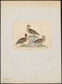 Tetrao phasianellus - 1820-1863 - Print - Iconographia Zoologica - Special Collections University of Amsterdam - UBA01 IZ17100363.tif