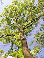 Thüringen, Hainich, blühender Baum von unten.jpg