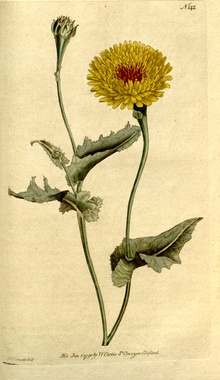 The Botanical Magazine, Plate 142 (Volume 4, 1791).png