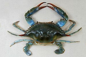 A female Atlantic Blue Crab (Callinectes sapid...