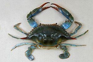 Tactopoda - The blue crab Callinectes sapidus, an arthropod