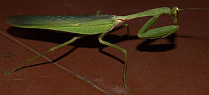 Dunghutti - Prey Mantis