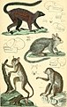 The animal kingdom, arranged according to its organization, serving as a foundation for the natural history of animals - and an introduction to comparative anatomy (1834) (18193282342).jpg