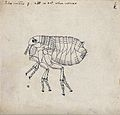 The female human flea (Pulex irritans). Pen and ink drawing Wellcome V0022605ER.jpg