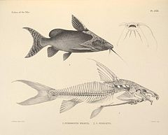 The fishes of the Nile (Pl. LXXI) (6815507328).jpg