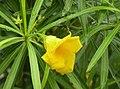 Thevetia peruviana.jpg