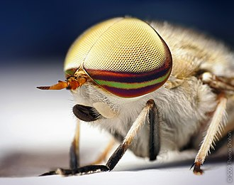 Arthropod eye - The male Tabanus lineola has holoptic compound eyes, with the dorsal ommatidia larger than the ventral ommatidia
