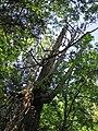 Thuja occidentalis (eastern arbor vitae tree) (Natural Bridge State Park, Virginia, USA) 3 (27193586663).jpg