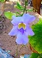 Thunbergia grandiflora 002.jpg