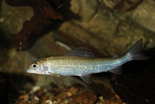Grayling (species) species of fish