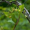 Thyrsanthella difformis Arkansas.jpg