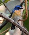 Tickell's Blue Flycatcher Cyornis tickelliae by Dr. Raju Kasambe DSCN0543 (4).jpg