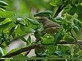 Tickell's Leaf Warbler (Phylloscopus affinis) (20569658442).jpg