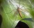 Tiger cranefly (50628709441).jpg