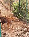 Tiger in Sanjay Gandhi National Park.jpg