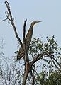 Tigrisoma mexicanum Linares 1.jpg