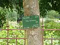 Tilia henryana-Jardin des Plantes 02.JPG