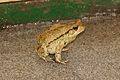 Toad at HartRAO.jpg