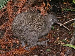 kiwi fugl fakta