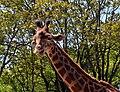 Touroparc Zoo - girafe 1.JPG