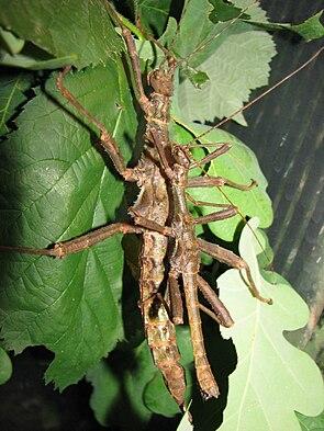 Riesendornschrecken (Trachyaretaon carmelae), Pärchen