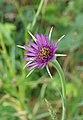 Tragopogon porrifolius (24971102646).jpg