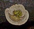 Trametes gibbosa - Buckeltramete - 07.jpg