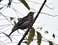 Tree Pipit (Anthus trivialis) at Sindhrot near Vadodara, Gujrat Pix 239.jpg