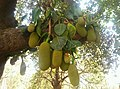Tree full of jackfruit.jpg