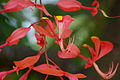 Tree of Heaven-Amherstia nobilis.jpg