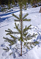 Tree on snow.jpg
