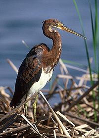 Tri-colored heron.jpg