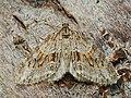 Trichopteryx polycommata - Barred tooth-striped - Лопастная пяденица жимолостная (26087516557).jpg
