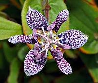 Tricyrtis hirta - blossom top (aka)