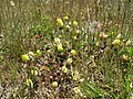 Trifolium campestre habit5 QNR (16049798546).jpg