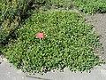 Trifolium fragiferum - Botanischer Garten, Frankfurt am Main - DSC02718.JPG