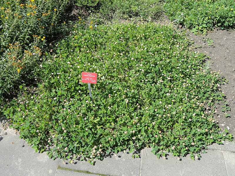 t p tin trifolium fragiferum botanischer garten frankfurt am main dsc02718 jpg wikipedia. Black Bedroom Furniture Sets. Home Design Ideas