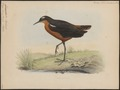 Tringoides leucopterus - 1848- - Print - Iconographia Zoologica - Special Collections University of Amsterdam - UBA01 IZ17400149.tif