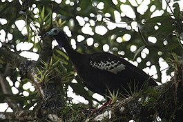 Trinidad piping-guan.jpg