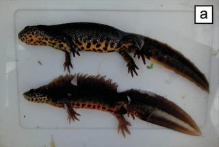 Anatolian crested newt Species of amphibian