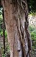 Tronc amb arrels al jardí de Bombas Gens.jpg