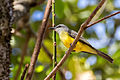 Tropical Kingbird - Pitirre Chicharrero (Tyrannus melancholicus) (12689227464).jpg