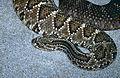 Tropical Rattlesnake (Crotalus durissus)(captive specimen) (14873522624).jpg