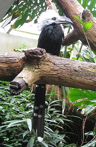 White-crested hornbill - T. a. albocristatus at Central Park Zoo, USA