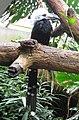 Tropicranus albocristatus -Central Park Zoo-6a-4c.jpg
