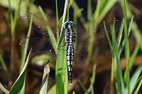 Trumpet tail (Acisoma panorpoides panorpoides) male dorsal.jpg