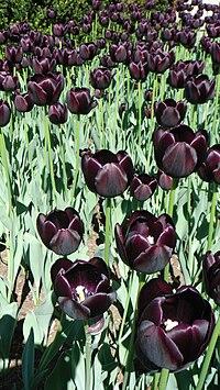 Чёрный тюльпан что означает